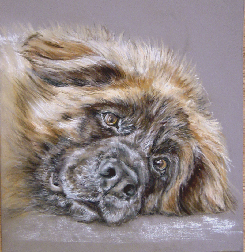 leonberger pastel drawing